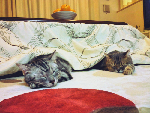 kotatsu-cat