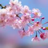 本日はAirbnbブログ番外編!日本の桜を深掘りします♪
