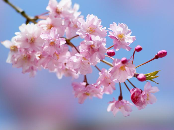 spring.cherry-tree